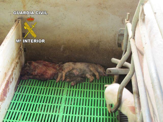 Operación marrano. La Guardia Civil inmoviliza 107 cerdos en una granja de Totana, Foto 3