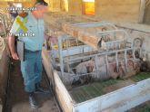 Operación marrano. La Guardia Civil inmoviliza 107 cerdos en una granja de Totana