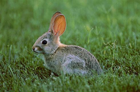Agricultura solicita a los agricultores informes sobre los daños causados por la plaga de conejos, Foto 1