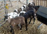 La Guardia Civil detiene a una persona en Javalí Nuevo-Murcia dedicada a la sustracción de ganado ovino