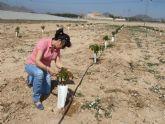 Se prueban nuevas variedades de cerezo como cultivo experimental en Mazarrón