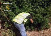 La Guardia Civil desarticula dos puntos de producci�n y distribuci�n de marihuana