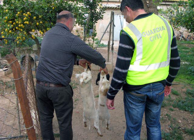 La Guardia Civil detiene a dos personas por sustraer más de medio centenar de corderos de una granja de Totana, Foto 4