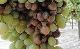 COAG critica que la mala gesti�n del seguro agrario de uva de mesa provocar� graves daños al sector productor