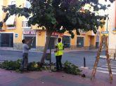Comienzan los trabajos de poda las moreras en las vías públicas y parques y jardines de Totana dentro de la campaña de otoño