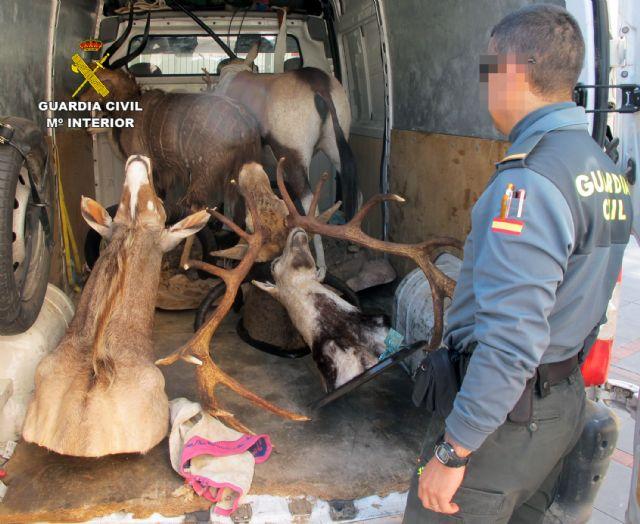 La Guardia Civil interviene en Totana cinco piezas de caza disecadas que eran transportadas ilícitamente, Foto 3