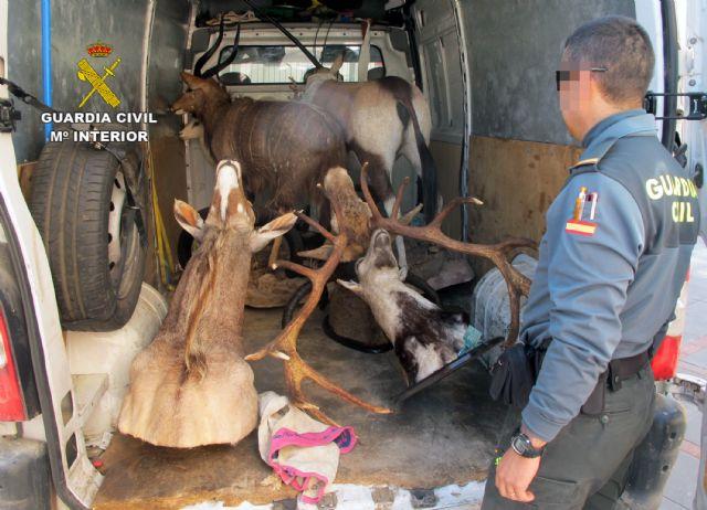 La Guardia Civil interviene en Totana cinco piezas de caza disecadas que eran transportadas ilícitamente, Foto 4
