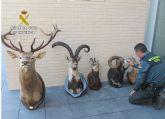La Guardia Civil interviene en Totana cinco piezas de caza disecadas que eran transportadas ilícitamente