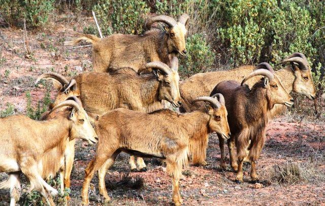 IU-Verdes Totana denuncia la situación de los arruís en el Parque Natural de Sierra Espuña, Foto 1
