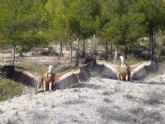 Medio Ambiente libera dos buitres tras ser recuperados en el Centro de Recuperaci�n de Fauna Silvestre �El Valle�