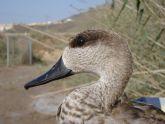 Abatida una cerceta pardilla, especie en Peligro Cr�tico, en el Parque Natural de Pego-Oliva (Alicante)