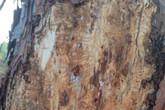 La Consejer�a de Agricultura declara la Utilidad P�blica de los tratamientos y la lucha contra la plaga de perforadores del pino