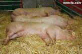 Ponen en marcha la semana que viene un curso gratuito sobre Bienestar Animal Porcino