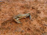 El cangrejo azul llega tambi�n al litoral de Mazarr�n