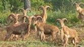 APESE y COAG piden que desaparezca la reserva de caza del arrui de Sierra Espuña