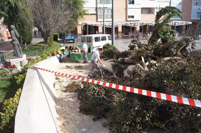 Cae un ficus de grandes dimensiones en un parterre de la plaza Balsa Vieja por el efecto del temporal de viento sin que se produzcan daños, Foto 1