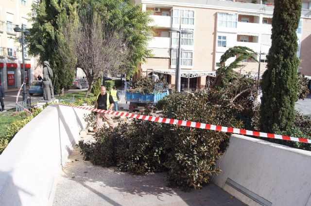 Struck by large ficus in a bed of Balsa Vieja Square for the effect of the wind storm without any damage, Foto 2