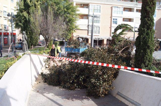 Cae un ficus de grandes dimensiones en un parterre de la plaza Balsa Vieja por el efecto del temporal de viento sin que se produzcan daños, Foto 2