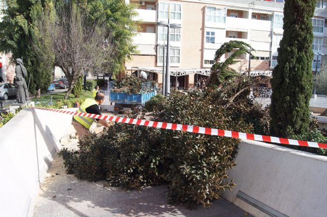 Cae un ficus de grandes dimensiones en un parterre de la plaza Balsa Vieja por el efecto del temporal de viento sin que se produzcan daños, Foto 3