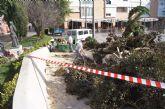 Cae un ficus de grandes dimensiones en un parterre de la plaza Balsa Vieja por el efecto del temporal de viento sin que se produzcan daños