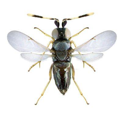 Introducen una avispa en los parques del municipio para controlar la plaga de cochinillas sin usar compuestos químicos - 1, Foto 1