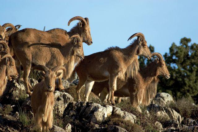 El Gobierno regional modifica la orden de veda y permite la caza del arruí para contribuir al control de su población, Foto 1