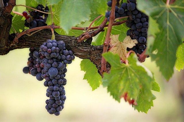 El mosto y zumo de uva: imprescindibles en el futuro del sector vitivinícola - 1, Foto 1