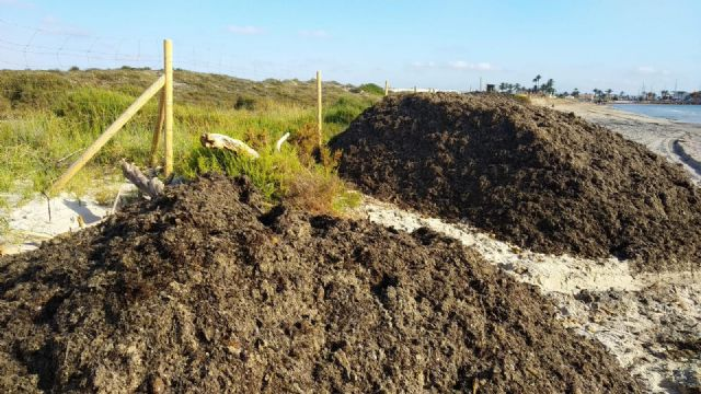 El Ayuntamiento traslada arribazones de posidonia hasta la Playa de la Llana para frenar la erosión litoral - 1, Foto 1