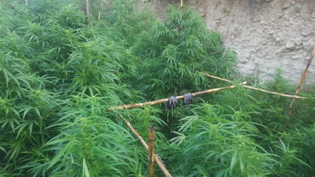 La Policía Local de Moratalla ha asestado un golpe al tráfico de drogas en el municipio al localizar una plantación de marihuana - 2, Foto 2