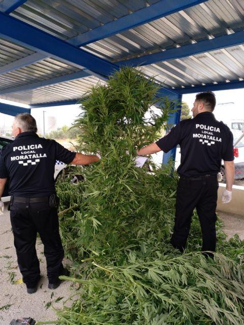 La Policía Local de Moratalla ha asestado un golpe al tráfico de drogas en el municipio al localizar una plantación de marihuana - 4, Foto 4