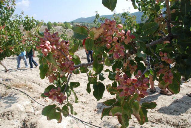 Agricultura muestra la rentabilidad del cultivo del pistacho tras cinco años de ensayos en una finca experimental del Noroeste - 1, Foto 1