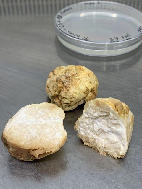 Una investigación de la UMU describe por primera vez la forma en que se reproduce la trufa del desierto - 2, Foto 2