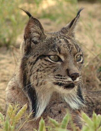 Lorca respalda en el proyecto ´Life Lynx Connect´ para el regreso del lince ibérico a la Región de Murcia - 1, Foto 1