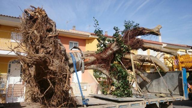 Se traslada un gran ejemplar de Ficus Australis al Jardín Paco Rabal, Foto 1