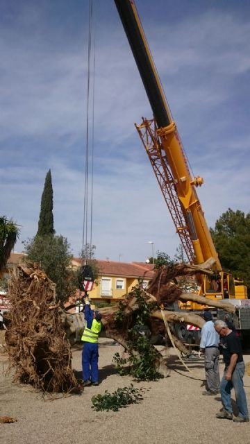 Se traslada un gran ejemplar de Ficus Australis al Jardín Paco Rabal, Foto 4