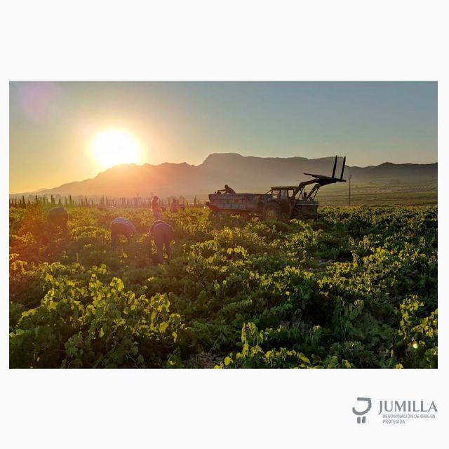 Iniciada la vendimia 2021 en la DOP Jumilla - 2, Foto 2