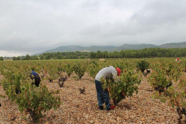Visita para conocer los daños que las fuertes lluvias han causado en viñedos de la DOP Bullas - 1, Foto 1
