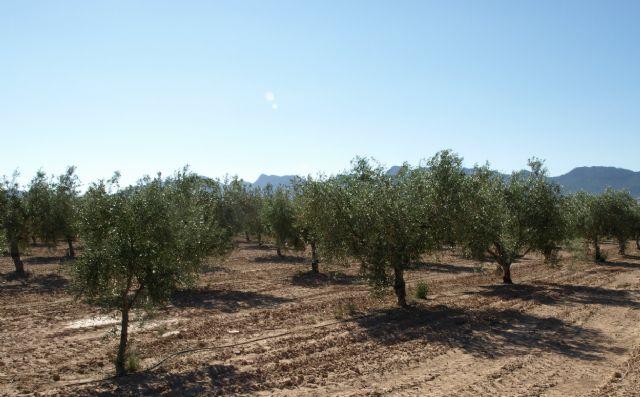 Agricultura desarrolla en Jumilla un proyecto sobre la calidad del aceite de diversas variedades de olivo - 1, Foto 1