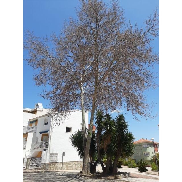 El Ayuntamiento de Bullas inicia investigaciones para identificar al autor del envenenamiento de un árbol platanero - 1, Foto 1