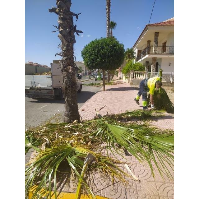 El Ayuntamiento lleva a cabo labores de tala y fumigación en las palmeras del municipio - 1, Foto 1