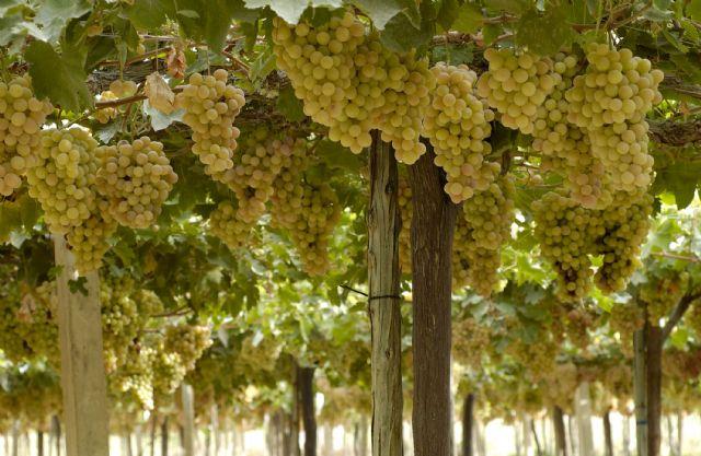 [COATO espera la campaña de la uva de mesa con gran expectación y confía en un producto de calidad
