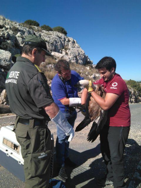 Liberan en Sierra Espuña un ejemplar de buitre leonado tras su recuperación en el centro de fauna silvestre