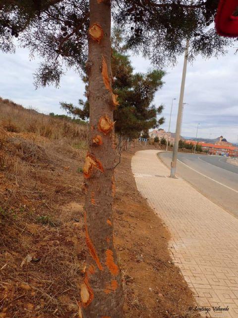 Denuncian la poda salvaje e innecesaria de un grupo de árboles autóctonos protegidos - 2, Foto 2