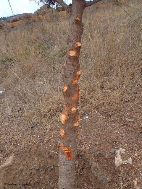 Denuncian la poda salvaje e innecesaria de un grupo de árboles autóctonos protegidos - 4, Foto 4