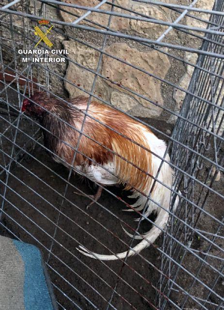 La Guardia Civil desmantela en Totana un tentadero ilegal dedicado a peleas de gallos - 2, Foto 2
