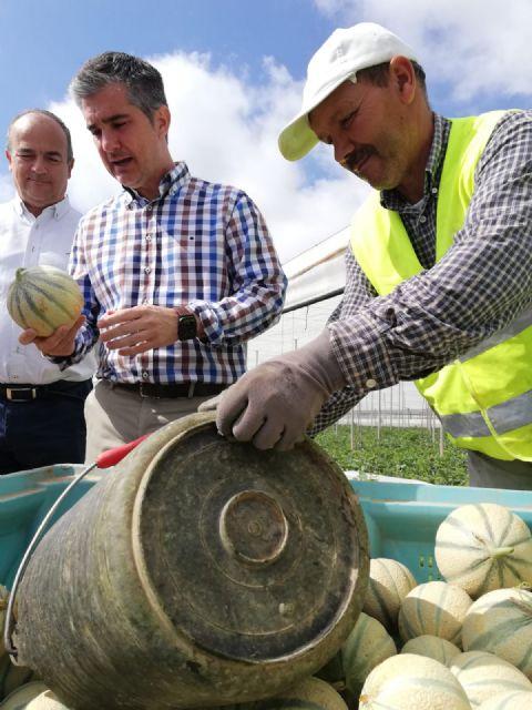 Arranca la recolección de las variedades extra tempranas de melón en la Región - 1, Foto 1