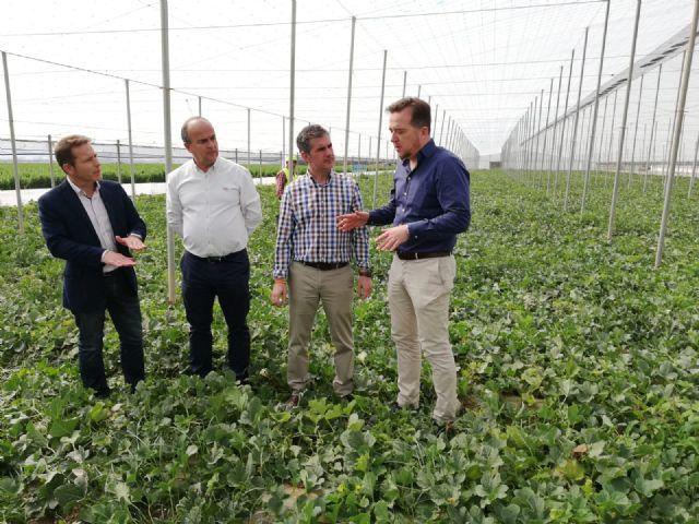 Arranca la recolección de las variedades extra tempranas de melón en la Región - 2, Foto 2