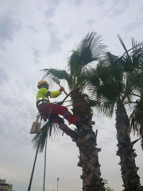 Desarrollo Urbano poda más de 15.000 palmeras en el municipio de Murcia - 1, Foto 1