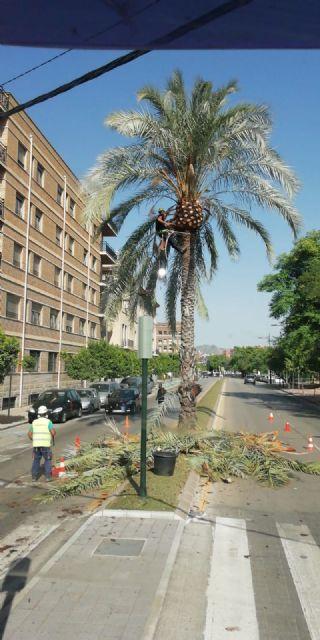 Desarrollo Urbano poda más de 15.000 palmeras en el municipio de Murcia - 2, Foto 2
