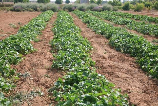 El IMIDA comprueba que los enemigos naturales autóctonos realizan un control de plagas eficiente en los cultivos de melón - 2, Foto 2